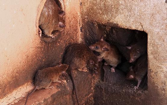 Pest Control Rats