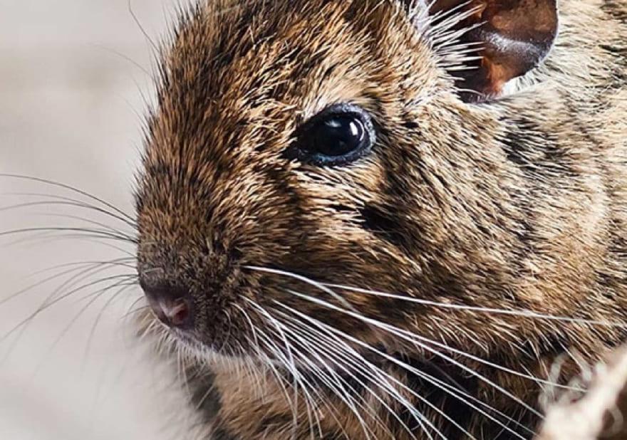 rat-sos-parasites